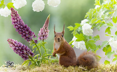 red squirrel stand with lupines and Roseum (Geert Weggen) Tags: animal animalbodypart animaleye backlit balance blossom branchplantpart bright cheerful closeup cute dinner eye flower food holding humor hypnosis looking lupine mammal nature peeking photography positiveemotion red rodent shiny springtime squirrel staring summer sun sweden yellow reach hello split climb goodbye bye happy square down action shout dance extacy roseum bispgården jämtland geert weggen ragunda