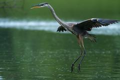 Flyweight (jmishefske) Tags: 2018 nikon d500 flying milwaukee water pond flight blue bif great lagoon westallis flyweight wisconsin heron july park fly greenfield county bird