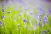 20180617_F0001: Lavender town (wfxue) Tags: plant flowers flower lavender bokeh green purple nature biology