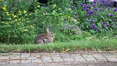 Bunny (glen.miner) Tags: nature rabbit bunny garden