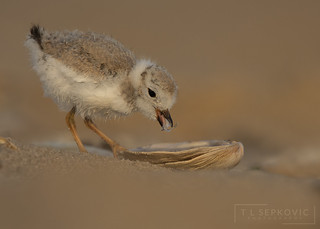 Piping Plover Peep