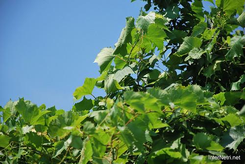 Виноград, Дім, сад, город Ukraine InterNetri 056