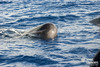 Sperm whale, Physeter macrocephalus (AZORES EXPERIENCES) Tags: whalewhatchingwhale dolphine turtle azores açores island sea ocean nature freedom wildintothewildsailor atlanticocean faial faialisland azoresislands spermawhale carettacaretta dephinus bluewhaletail whaletail bluewhale finwhale grampo risso rosssdolphin