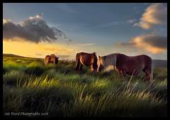 Wild horses at Sunset (awardphotography73) Tags: sigma nikon cymru landscapescenery summer grass nature wales nationalpark breconbeacons brecon sunset beautiful wildhorses horses horse wildlife