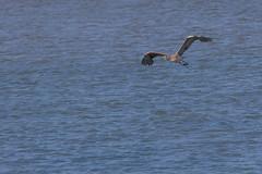 IMG_2478 (armadil) Tags: mavericks beach beaches bird birds flying californiabeaches heron greatblueheron blueheron
