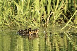 Mallard Ducklings synchronisation