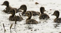 Duckling (david_allott) Tags: ducklings