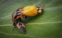 Birth Of The Yellow Lady (paulward972) Tags: macro insects ladybird olympusm60mmf28macro olympusem1markii ngc npc