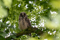 Owl (Jesper Lund Hansen) Tags: strigiformes owl ugle asioflammeus mosehornugle shortearedowl