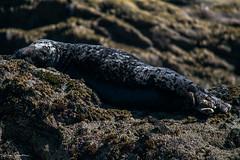 Grey seal - Phoque gris (liloubreizh) Tags: grey seal phoque gris iroise molène archipel mer finistère bretagne france brittany nikon d5300 55300mm nikkor