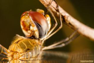 Sleeping Dragonfly #1