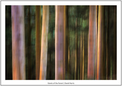Giants of the forest (mistymornings99) Tags: intentionalcameramovement icm movement hafod photostyles nature woodland cefncreigiau