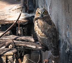 Guarding the silo (Wits End Photography) Tags: bird colorado silo abandoned owl decay kansas animal architecture decayed discarded farm forgotten forsaken neglected old outbuilding rejected round rural storage storehouse structure