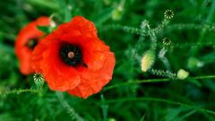 Arabesques (BrigitteChanson) Tags: poppy coquelicot papavero amapola vert green verde rouge rojo rosso red