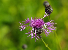 A walk through Kent's flower meadows - Knapweed - Centaurea. (favmark1) Tags: kent knapweed meadow wildflowers centaurea centaureanigra