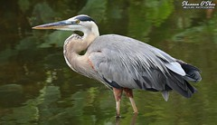 They also serve who only stand and wade (Shannon Rose O'Shea) Tags: shannonroseoshea shannonosheawildlifephotography shannonoshea shannon greatblueheron heron bird beak feathers wings blue wading water yelloweye skinnylegs green colorful closeup close alligatorbreedingmarshandwadingbirdrookery gatorland orlando florida rookery nature wildlife waterfowl wild wildlifephotography wildlifephotographer wildlifephotograph art photo photography photograph ardeaherodias fauna wadingbird canon canoneos80d canon80d eos80d 80d canon100400mm14556lisiiusm flickr wwwflickrcomphotosshannonroseoshea femalephotographer girlphotographer womanphotographer shootlikeagirl shootwithacamera throughherlens gatorlandbirdrookery
