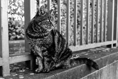 Castle Guard (gambajo) Tags: 1year1town1lens brühl blackandwhite blackwhite black white fence cat kitten kitty animal pet outdoors public contrast x100s fujix100s fujifilmx100s augustusburg