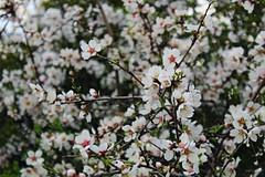Blossom , Argos (AnnaGnl) Tags: argos motocross park argolis peloponnese greece tree blossom flower