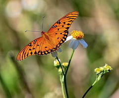 Gulf Fritillary Butterfly (Darts5) Tags: gulffritillarybutterfly gulffritillarybutterflies gulffritillary fritillary butterfly butterflies orangebutterfly insect insects nature animal 7d2 7dmarkll 7dmarkii 7d2canon closeup canon7d2 canon7dmarkll canon7dmarkii canon macro macros upclose