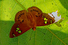 Capita phanaeus - the Fulvous Dawnfly (BugsAlive) Tags: butterfly mariposa papillon farfalla schmetterling бабочка conbướm ผีเสื้อ animal outdoor insects insect lepidoptera macro nature hesperiidae capitaphanaeus fulvousdawnfly pyrginae wildlife doisutheppuinp chiangmai ผีเสื้อในประเทศไทย liveinsects thailand thailandbutterflies nikon105mm bugsalive ใกล้รุ่งธรรมดา