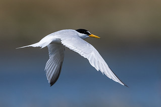 Little Tern