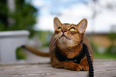 Lizzie aiming for the sky (DizzieMizzieLizzie) Tags: abyssinian aby lizzie dizziemizzielizzie portrait cat feline gato gatto katt katze kot meow pisica sony neko gatos chat a6500 fe ilce6500 ilce 2018 bokeh pet animal dof meadow sigma 35mm f14 dg hsm | art 018 aiming sky