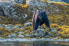Black Bear 501_0767.jpg (Mobile Lynn) Tags: nature landmammals blackbear bear fauna mammal mammals wildlife alberniclayoquotc britishcolumbia canada ca coth specanimal coth5 ngc npc specanimalphotooftheday