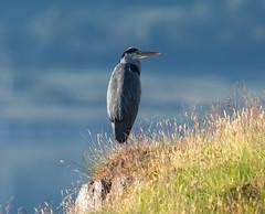 Grey Heron 28-06-2018-5901 (seandarcy2) Tags: birds wildlife uk heron mull