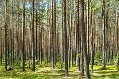 Forest | Ežerėlis | Kaunas county, Lithuania #190/365