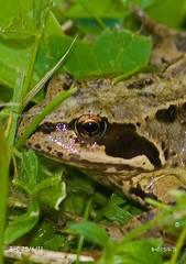 European Common Brown Frog (Rana temporaria) (Brian Carruthers-Dublin-Eire) Tags: common frog rana temporaria commonfrog ranatemporaria amphibian animalia animal chordata amphibia anura ranidae rtemporaria nature wildlife ireland