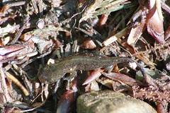 Feuersalamander Larve ohne Wasser (Aah-Yeah) Tags: feuersalamander firesalamander salamander salamandra caudata schwanzlurch larve wasser water achental chiemgau bayern