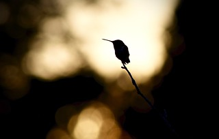 Male Ruby-Throated Hummingbird:  A Moment of Quiet at Dusk