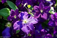 Purple Passion (flipkeat) Tags: clematis nature flowers flower closeup purple awesome different port credit sony a77ii flora