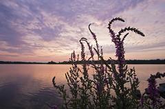 Purple Loosestrife... (Tiara Rae Photography) Tags: purple loosestrife noxious weed invasive species plant flowers pink sunset nebraska omaha zorinsky lake sky clouds landscape