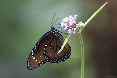 Butterfly 2018-62 (michaelramsdell1967) Tags: butterfly butterflies nature macro animal animals insect insects green bokeh beauty beautiful pretty lovely flower monarch monarchs bug bugs upclose closeup vivid vibrant garden detail delicate fragile summer colorful zen