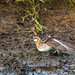Red Necked Phalarope opening wings