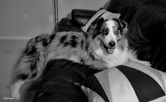 28/52 Welcome to the Love Couch (Jasper's Human) Tags: 52weeksfordogs 52wfd dog couch aussie australianshepherd