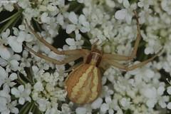 Runcinia grammica (Phil Arachno) Tags: chelicerata arachnida spinne spiders thomisidae greece griechenland gialova peleponnes