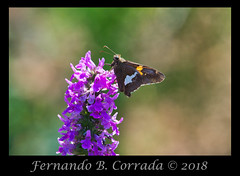 Silver-spotted Skipper (0857) (fbc57) Tags: nikond850 nikon300f4pfvrtc14x vermont silverspottedskipper epargyreusclarus skippers dicotskippers eudaminae hesperiidae lepidoptera hodges3870 butterflies