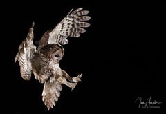 Tawny Owl (Ian howells wildlife photography) Tags: 1dxmkii canonuk canon wildlifephotography wildlife owl tawnyowl wales wildbird wild nationalgeographic naturephotography nature inflight ianhowellswildlifephotography ianhowells