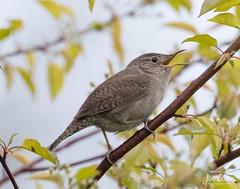 House Wren (jklewis4) Tags: songbird nature housewren birds bird michigan tawaspoint springmigration tawaspointstatepark