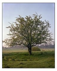 April 29th - 4x5 (magnus.joensson) Tags: sweden skåne spring forest green dalby april large format 4x5 intrepid camera voigtlander heliar 21cm f45 kodak porta exp laboratoriet epson v800 scan