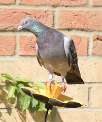 #3 Pigeon - Sorted! (MJ Harbey) Tags: bird pigeon birdfeeder plant wall columbadomestica columbaliviarustica inmygarden nikon d3300 nikond3300
