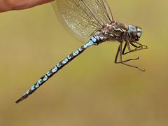 Zigzag Darner (Aeshna stichensis) male (dmills727) Tags: dsa2018 minnesota bog darner dragonfly odonata