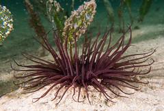 Tube anemone (Marine Explorer) Tags: nature marine coastal australia marineexplorer rx100 compact sony