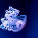 Blue Jellyfish (Cyanea lamarckii) of Enoshima Aquarium, Fujisawa : ブルージェリー(藤沢市・新江ノ島水族館)