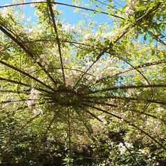 2018_06_0583sq (petermit2) Tags: playground greyworld pergola aviary rose roses yorkshiresculpturepark ysp westbretton wakefield westyorkshire yorkshire