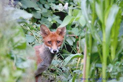 I've been spotted!.......... (law_keven) Tags: foxes fox animals urbanfoxes redfox catford london wildlife wildlifephotography photography gardens england