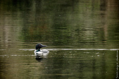 Spirit Of The North (Larry E. Anderson) Tags: bearheadlake bearheadlakestatepark commonloon gaviaimmer landof10000lakes minnesota bird lake seasons spring water