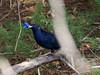 Satin Bower Bird Encounter 5 - Ptilonorhynchus violaceus - Barton - ACT - Australia - 20180611 @ 11:15 to 12:00 (MomentsForZen) Tags: barton australiancapitalterritory australia au momentsforzen mfz hasselblad x1d color bird ptilonorhynchusviolaceus bower blue violet male female mating